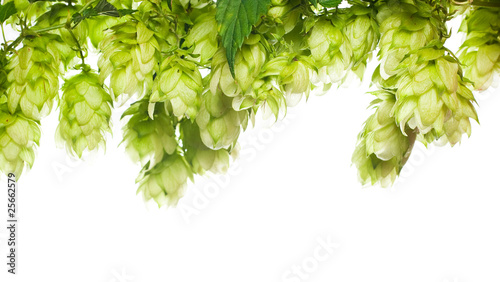 green fresh hop border isolated on white