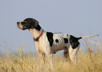 Purebreed pointer
