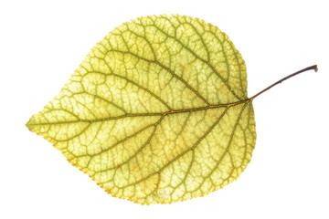 leaf of the apricot