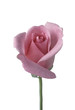 Single pink rose against white