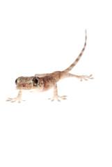 animal chinese gecko