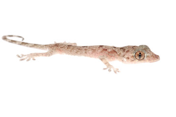 animal chinese gecko
