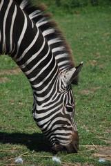 Eating Zebra