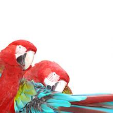 red  macaw parrot bird