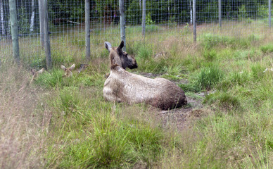 Female elk scratching with leg