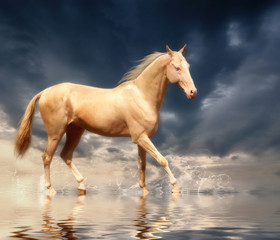Cremello stallion Akhal-Teke  in water