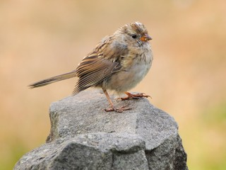 Juvenile white crowned sparrow