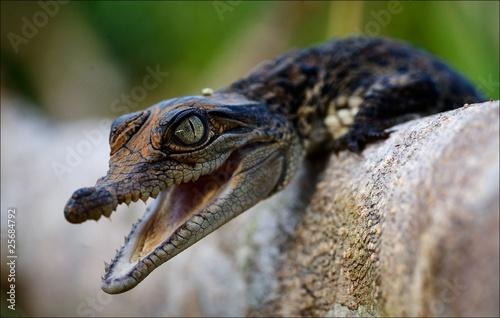 Fototapeten Krokodile Cub of a crocodile.