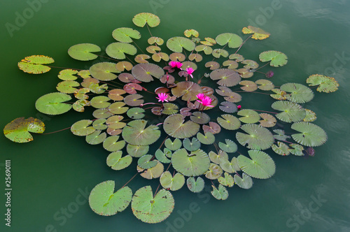 Lotus pattern in green pond