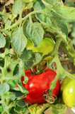 unripe tomatoes poster