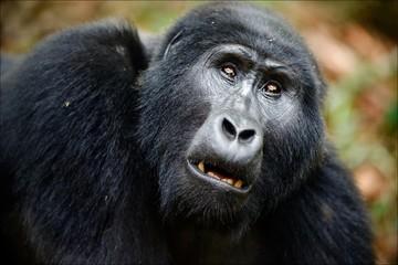Portrait of a mountain gorilla at a short distance.
