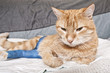 Ginger cat with broken leg