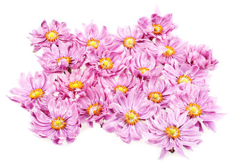 pink daisies with rain drops isolated