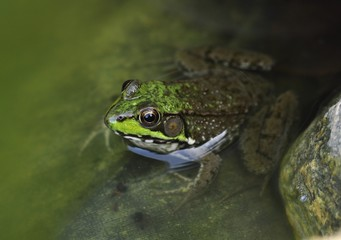 Common water frog in a pond