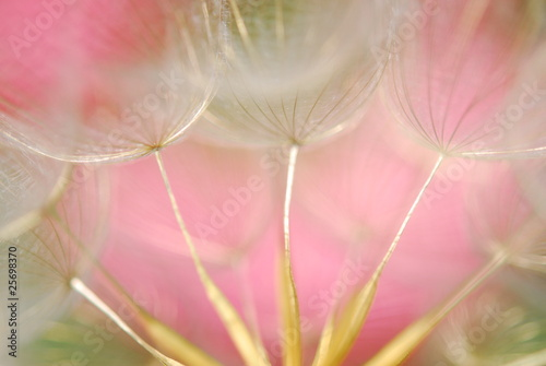 Naklejka dandelion seeds
