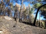 Arbres brûlés après un incendie de forêt poster