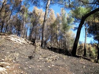 Arbres brûlés après un incendie de forêt