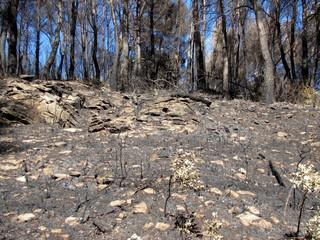 Sous-bois ravagé par un feu de forêt