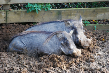 Two Warthogs in the mud