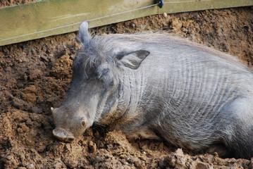 Warthog in the mud