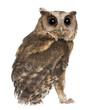 Young Indian Scops Owl, Otus bakkamoena