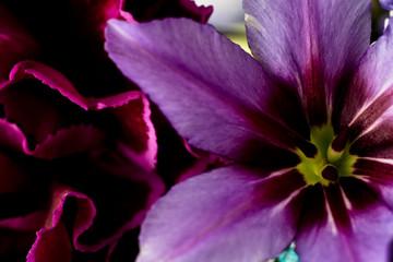 Leucocoryne Caravelle Rose