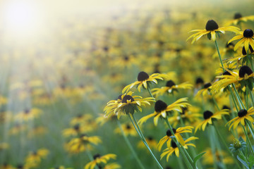 Yellow flowers (rudbeckia)