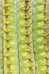 Saguaro Cactus Carnegiea gigantea spines detail