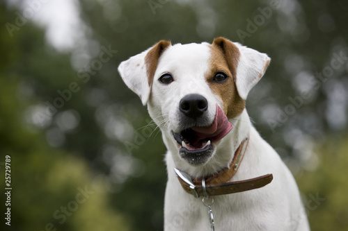 Portrait of a parsons terrier dog