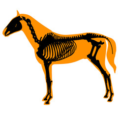 horse skeleton and body