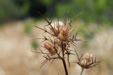 Withered thorny thistle plant. Abstract background. poster