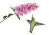 hummingbird floats under a butterfly bush