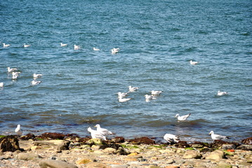 Seagulls Swimming in the Ocean