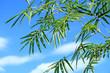 bambou sur fond de ciel bleu