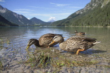 Enten am Bergsee