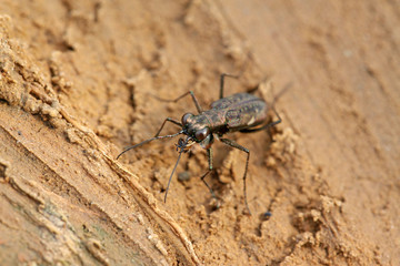 tiger beetles insects - cicindelidae