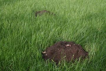 Brown earth molehill on deep green grass