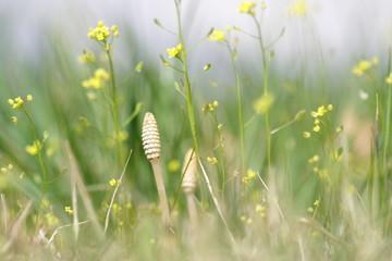 土筆 horsetail