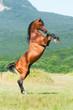 Obrazy na płótnie, fototapety, zdjęcia, fotoobrazy drukowane : bay arabian stallion rearing