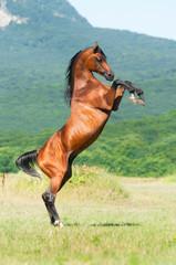 bay arabian stallion rearing