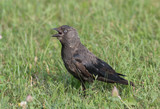 The Jackdaw, Corvus monedula