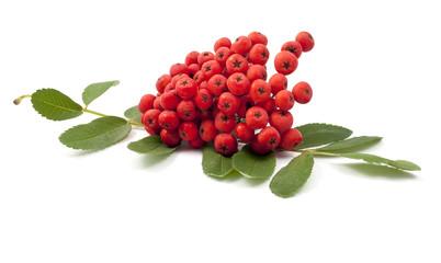 bunch of red rowan