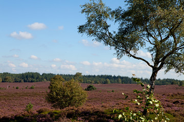 field with dutch heath