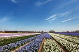 Dutch landscape with flower bulbs