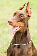 happy brown doberman