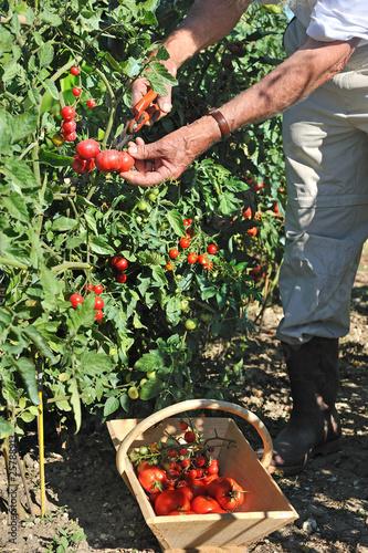 cueillette de tomates au potager