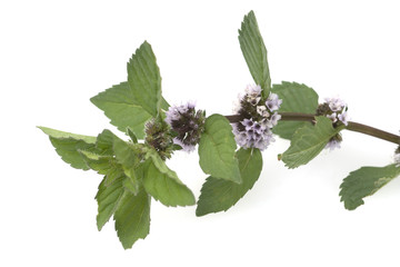 Pfefferminze; Mentha x piperita