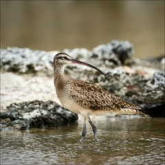 The Whimbrel.