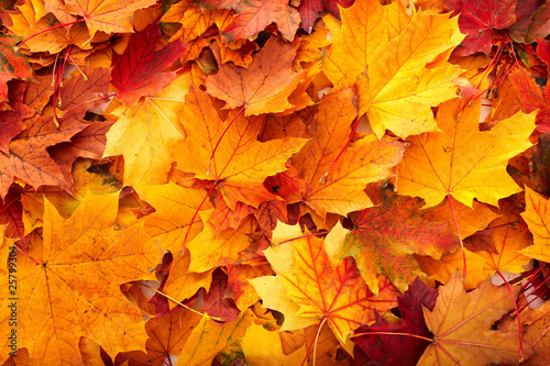 Background group autumn orange leaves. - 25799304