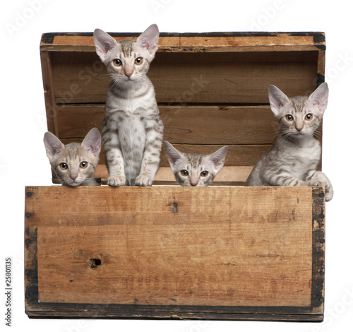 Ocicat kittens, 13 weeks old, emerging from a wooden box